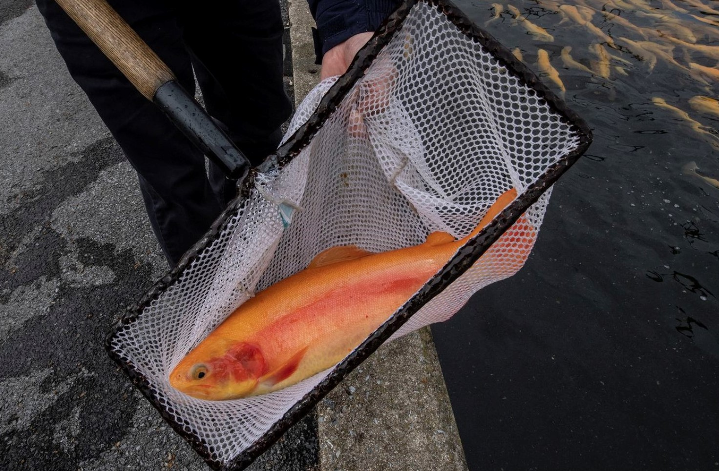 Despite Complaints, Golden Rainbow Trout to Be Introduced to More State Waterways