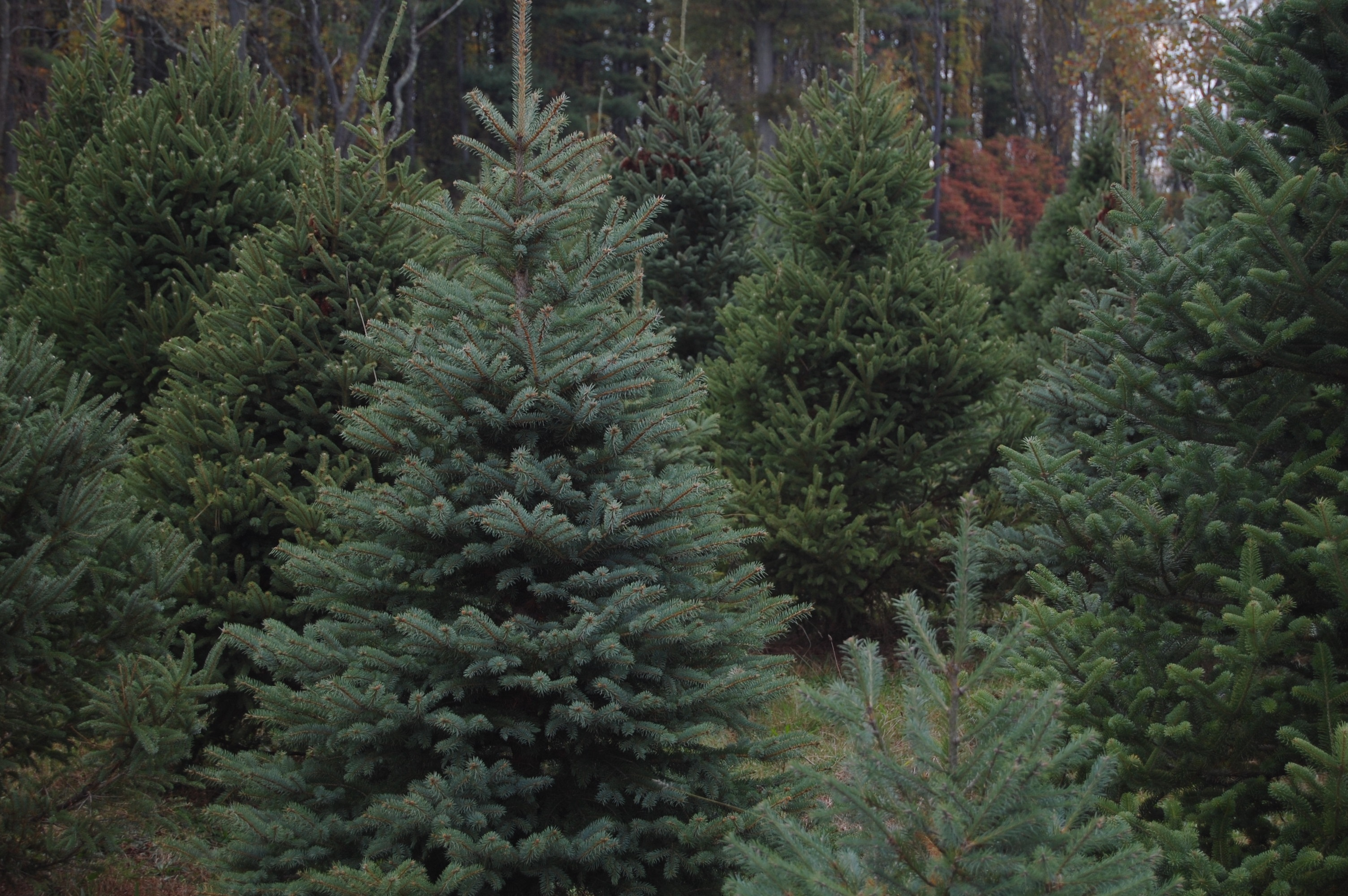 Some Of Region's Best Places To Find Your Perfect Christmas Tree Are In Montco
