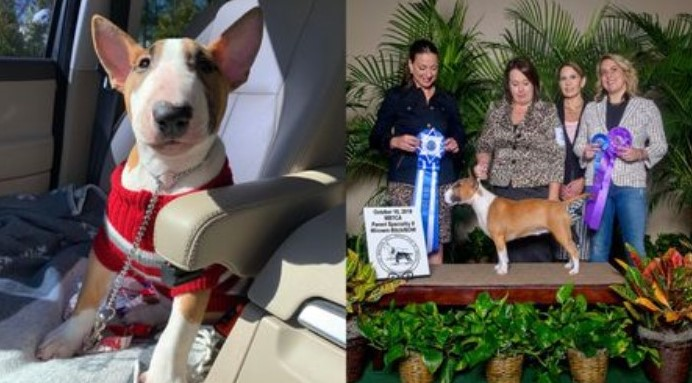 Miniature Bull Terrier from Bala Cynwyd to Compete at Westminster Kennel Club Dog Show