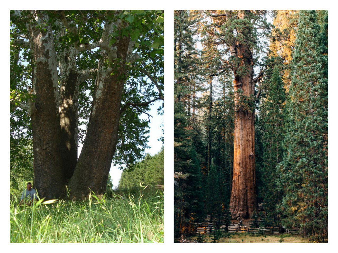 West Laurel Hill Cemetery Arborist Coordinating Pennsylvania's Champion Trees Program