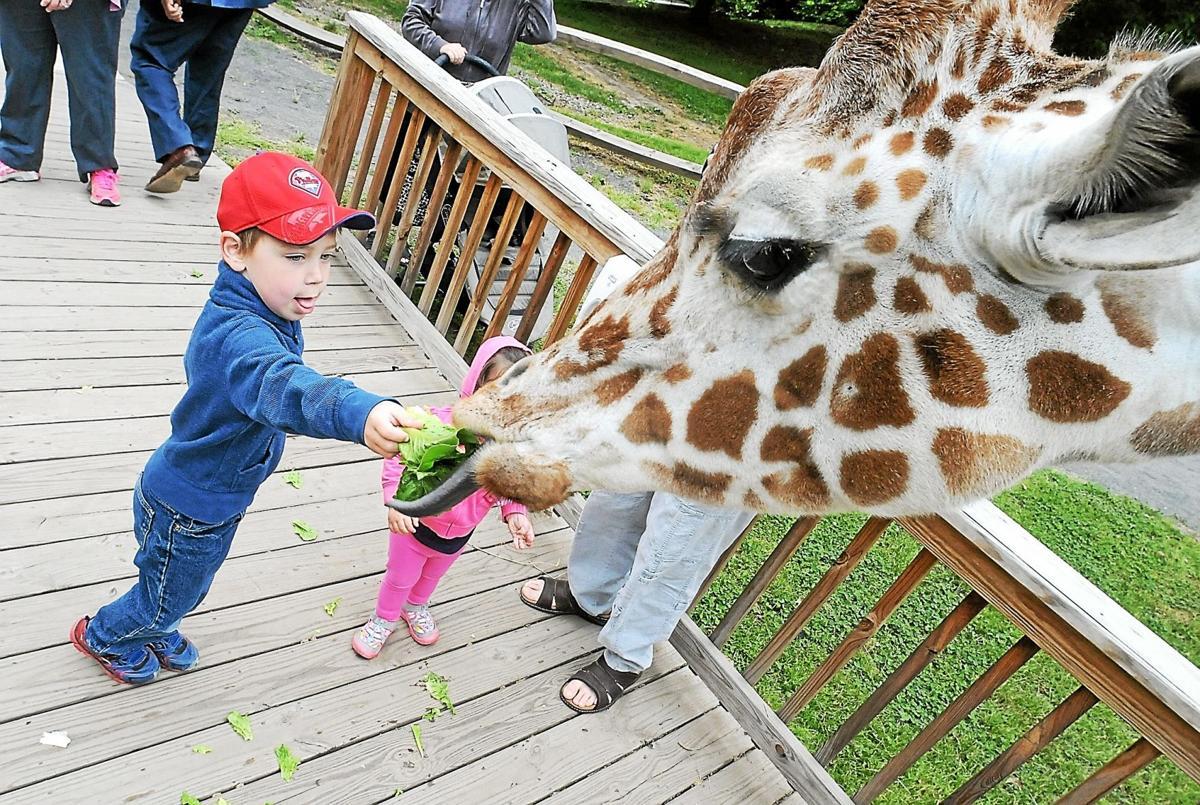 Purchase Live Giraffe Feeding During 'Giraffeathon,' Elmwood Park Zoo's Live Stream Fundraiser