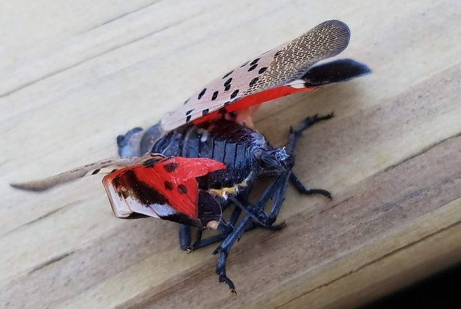 Spotted Lanternfly Sightings in Pennsylvania Jump Fivefold Compared to Last Year