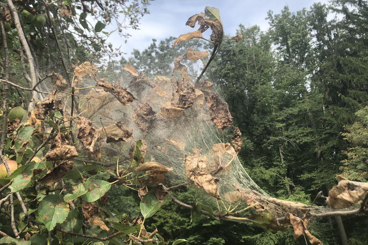 Silky White Webs Dominating Area Landscape Are Work of Native Moth
