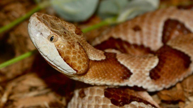 Cicada-eating Copperhead Snake