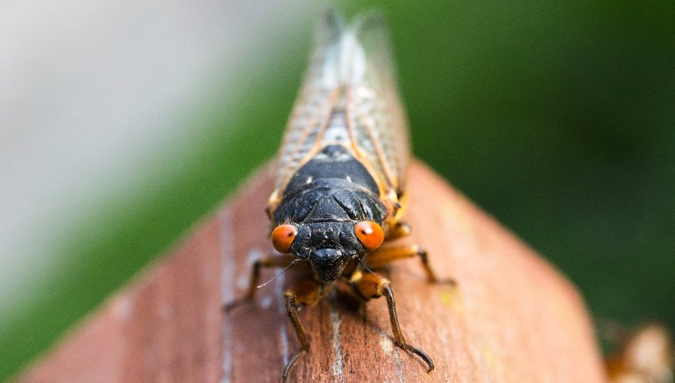 Cicadas in Montgomery County