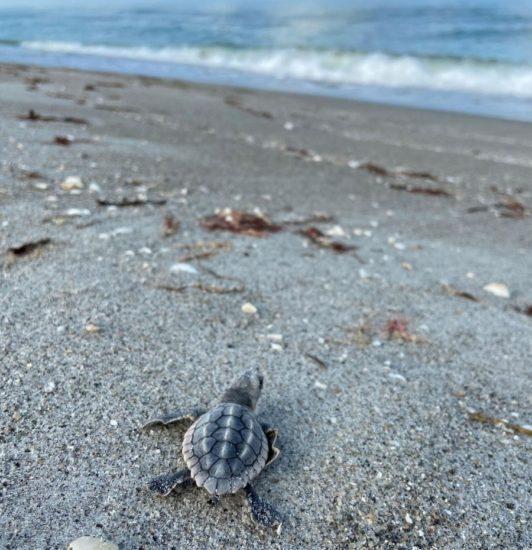 Sanibel island turtle, florida travel series