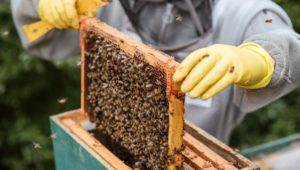 bee swarms beekeeper