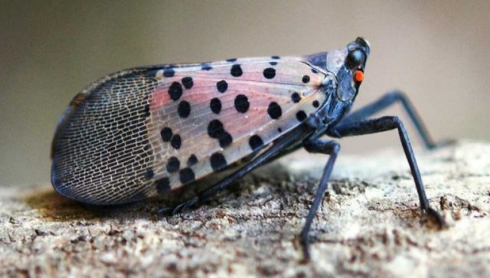 Online Tool Created by Penn State Researchers Helps Predict Seasonal Egg Hatch for Spotted Lanternflies