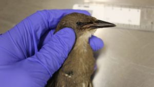 Pennsylvania songbirds mysterious illness
