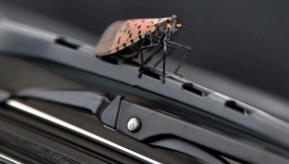 A spotted Lanternfly on a wiper blade from Oct. 5, 2020.
