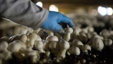 Mushroom_harvesting_Kennett_Square
