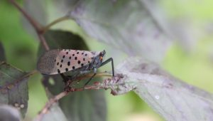 lanternfly in montgomery county