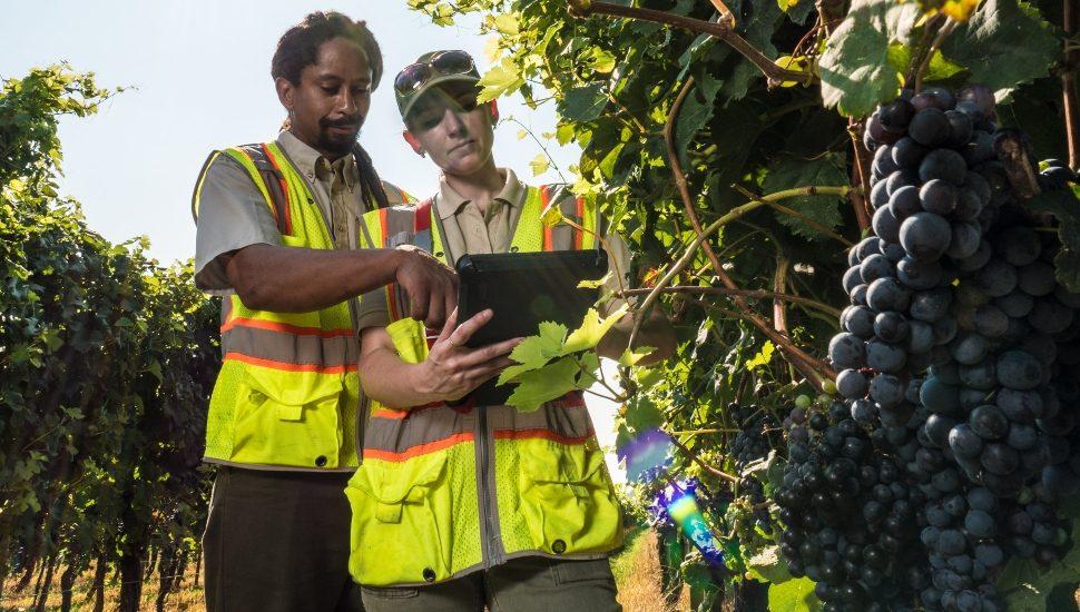 men inspecting Cabernet Franc Grapes