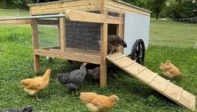 Tlush family farm chickens in plymouth meeting.
