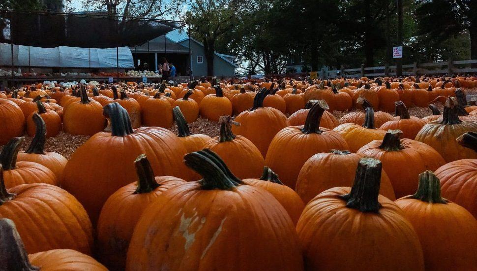 pumpkin picking at Merrymead Farm